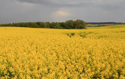 Flourishing field of yellow rape. Maturing field with yellow rape flowers Stock Photos