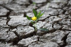Flourishing flower fighint through dried earth soil. A Flourishing flower fighting through dried earth soil as a symbol of never giving up stock images