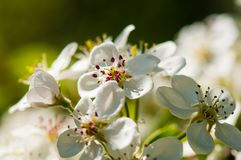 Flourishing flowers of apple tree macro royalty free stock image