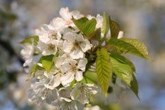 Flourishing fruit trees Stock Photo