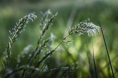 Flourishing grass in the meadow. Flourishing grass in a meadow in cool tones stock photos