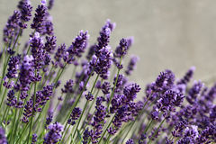 Flourishing lavender Stock Photos