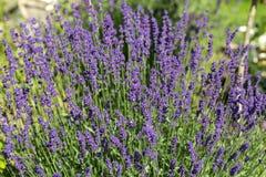 Flourishing lavender Royalty Free Stock Image