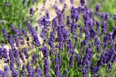 Flourishing lavender Stock Photos
