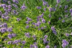Flourishing lavender Stock Image