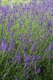 Flourishing lavender Royalty Free Stock Photography