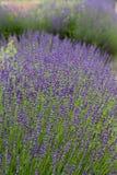 Flourishing lavender Royalty Free Stock Photo