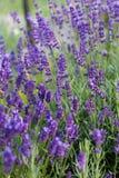 Flourishing lavender Royalty Free Stock Photos
