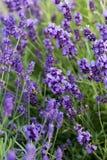 Flourishing lavender Stock Images