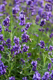 Flourishing lavender Stock Photography