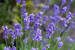 Flourishing lavender. Gardens with the flourishing lavender Royalty Free Stock Photography