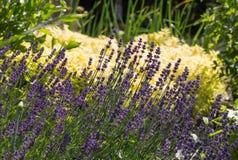 Flourishing Lavender and Oregano Royalty Free Stock Photography