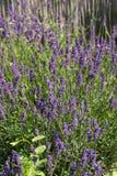 The flourishing lavender  in Provence, near Sault Stock Photos