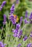 The flourishing lavender  in Provence, near Sault Royalty Free Stock Photo