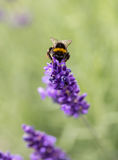 The flourishing lavender  in Provence, near Sault Royalty Free Stock Photography