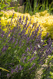 The flourishing lavender  in Provence, near Sault. France Stock Photos