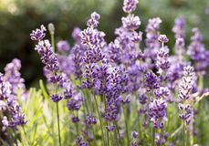 The flourishing lavender  in Provence, near Sault Royalty Free Stock Image