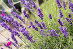 The flourishing lavender  in Provence, near Sault. France Royalty Free Stock Photos