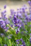 The flourishing lavender  in Provence, near Sault,. France Stock Photo