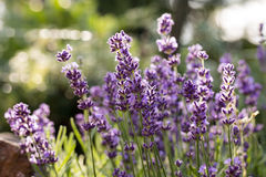 The flourishing lavender  in Provence, near Sault,. France Royalty Free Stock Photo