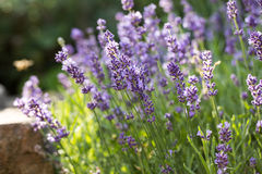 The flourishing lavender  in Provence, near Sault,. France Royalty Free Stock Photos