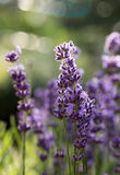 The flourishing lavender  in Provence, near Sault,. France Stock Photos