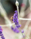 The flourishing lavender  in Provence, near Sault,. France Royalty Free Stock Images