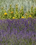 The flourishing lavender and yellow star-thistle flowers. The flourishing lavender and yellow star-thistle flowers stock image