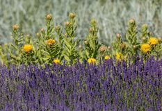 The flourishing lavender and yellow star-thistle flowers. The flourishing lavender and yellow star-thistle flowers stock photo