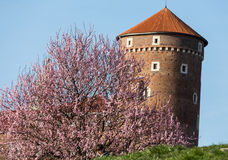 The flourishing plum tree and Sandomierska Tower at the Wawel Royal Castle in Krakow Stock Photo