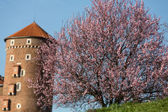The flourishing plum tree and Sandomierska Tower at the Wawel Royal Castle in Krakow Stock Images