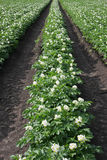 Flourishing potato plants Stock Photography