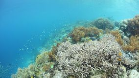 Flourishing Reef and Fish in Raja Ampat. Colorful fish swim above a healthy, flourishing coral reef in Raja Ampat, Indonesia. This remote, tropical region is stock video footage