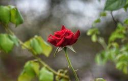 Flourishing rose in my garden royalty free stock photos