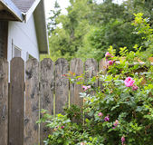 Flourishing roses complete backyard view. Farm house backyard. Wood old fence with beautiful flourishing roses Royalty Free Stock Photo