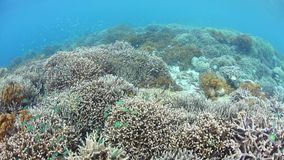 Flourishing Shallow Coral Reef in Raja Ampat. Colorful fish swim above a flourishing coral reef in Raja Ampat, Indonesia. This remote, tropical region is famous stock video footage