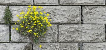 Flourishing shrub at a wall Royalty Free Stock Photo