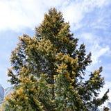 Flourishing spruce Royalty Free Stock Photo