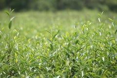 Flourishing  tea leaves. Royalty Free Stock Photo