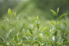 Flourishing  tea leaves. Royalty Free Stock Photo