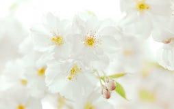 Flourishing white cherry tree blossoms Stock Image