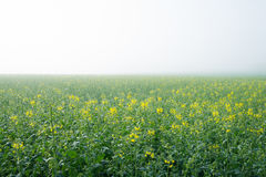 Flourishing young oilseed rape Royalty Free Stock Images