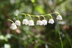 Flover bianco della campana Fotografia Stock