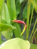 Flover de Banan Imagem de Stock