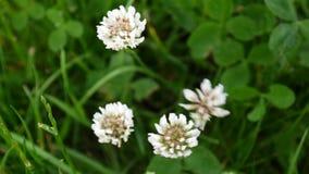 Flover för vit växt av släktet Trifolium i fältet Kamera för HD-videomaterialstatisk elektricitet lager videofilmer