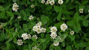 Flover för vit växt av släktet Trifolium i fältet Kamera för HD-videomaterialstatisk elektricitet arkivfilmer