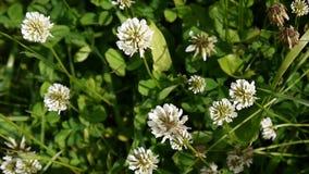 Flover för vit växt av släktet Trifolium i fältet Kamera för HD-videomaterialstatisk elektricitet stock video