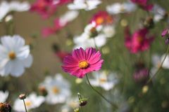 Flover Royalty Free Stock Image