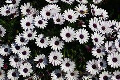 Flover - krysantemum Arkivfoto