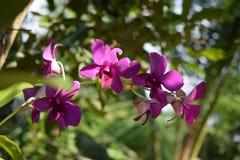 Flover natural de la orquídea en Sri Lanka foto de archivo